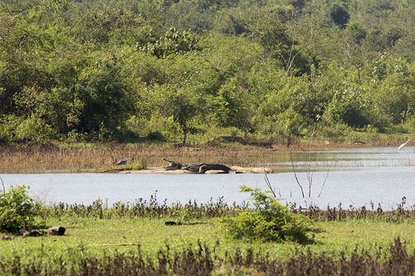 Picture of Crocodile with wide open mouth in the sun of Uda Walawe - Sri Lanka - Asia