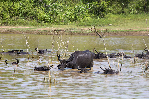 Foto de Buffaloes in the reservoir of Uda WalaweUda Walawe - Sri Lanka