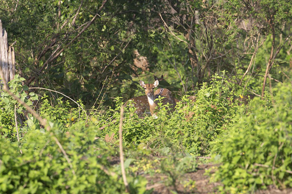 Foto van Spotted deer hiding in the bushes in Uda WalaweUda Walawe - Sri Lanka