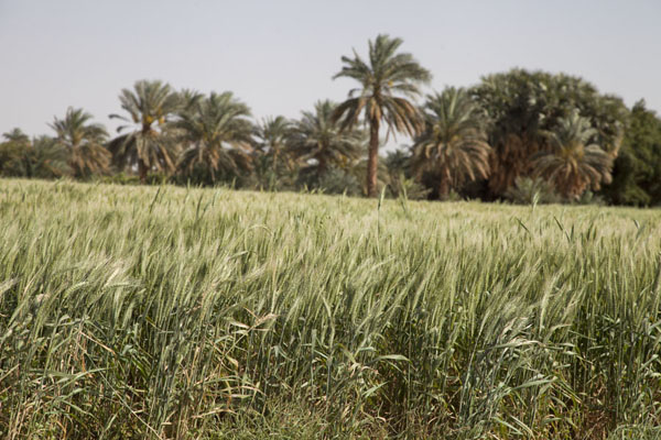 Barley and palm trees between the eastern and western deffufa | Deffufas van Kerma | Soedan