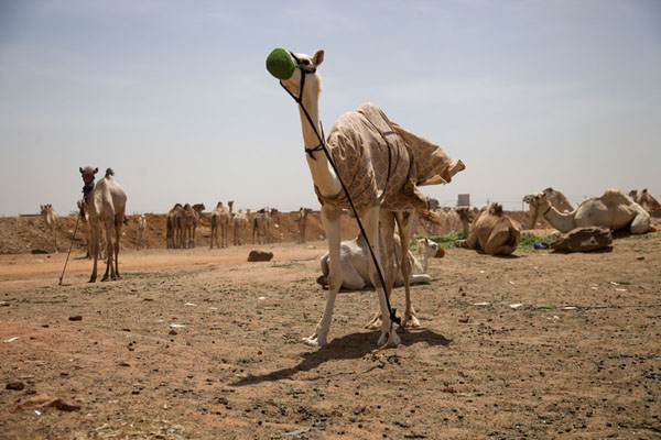 Picture of Omdurman Camel Market (Sudan): Camels under the hot sun at the camel market