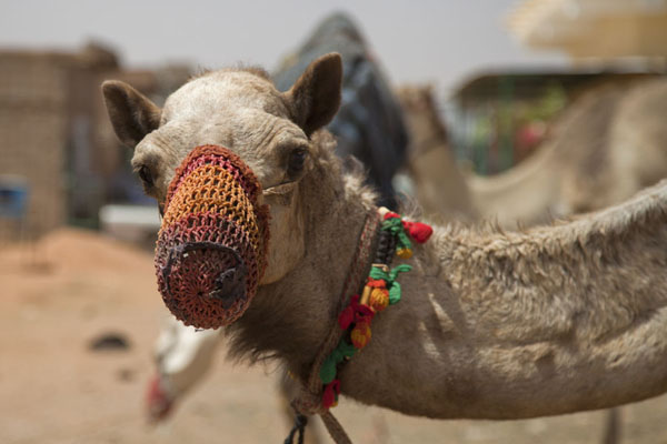 Camel with colourful decorations at the camel market | Mercato dei cammelli di Omdurman | Sudan