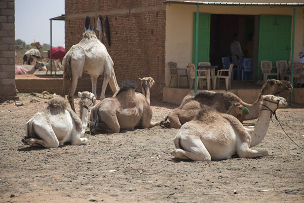 Camels lying on the ground at a bar at the camel market of Omdurman | Mercato dei cammelli di Omdurman | Sudan