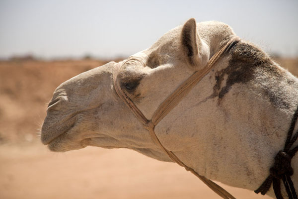 Close-up of the head of a white camel at the camel market | Omdurman Camel Market | Sudan