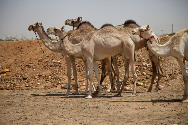 Foto di Light-coloured camels waiting at the market - Sudan - Africa