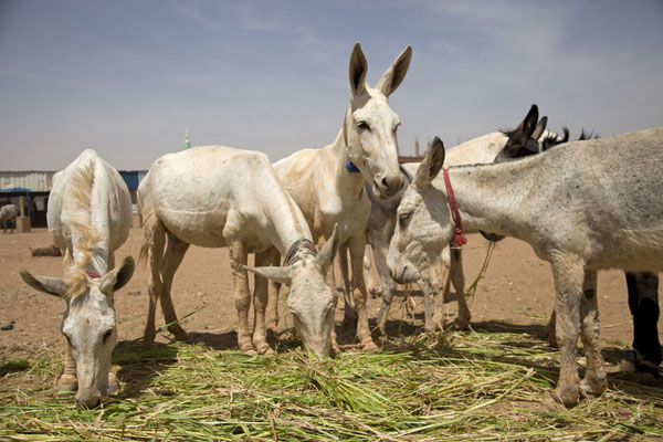 Foto van Donkeys having something to eat at the donkey market of OmdurmanOmdurman - Soedan