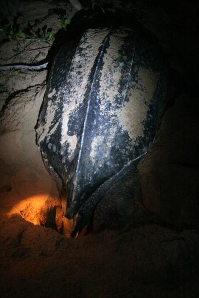 Foto de Leatherback turtle about to lay eggsGalibi - Surinam