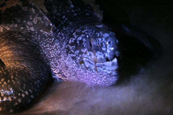 Picture of Leatherback turtles