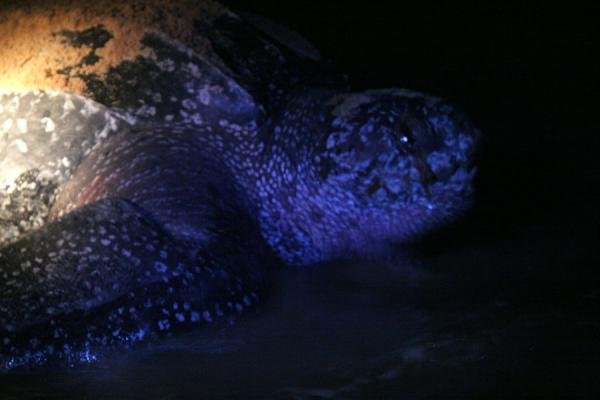 Turtle head as it moves into the water | Leatherback turtles | Surinam