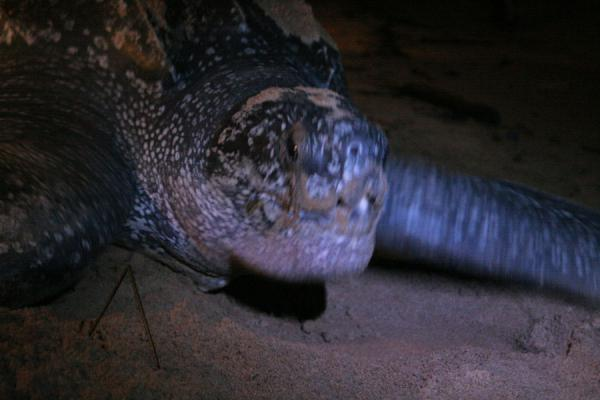 Foto de Leatherback turtle busy on the beachGalibi - Surinam