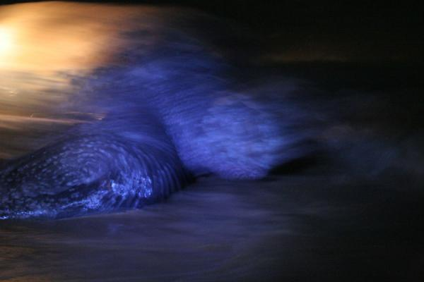 Foto de Leatherback turtle in action on the beachGalibi - Surinam