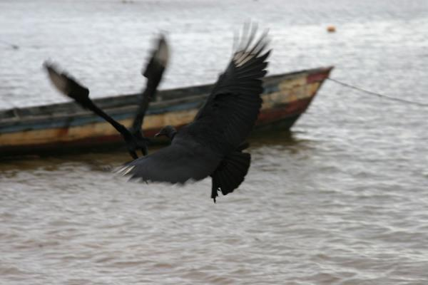 Foto de Black vultures flying over the Marowijne riverGalibi - Surinam
