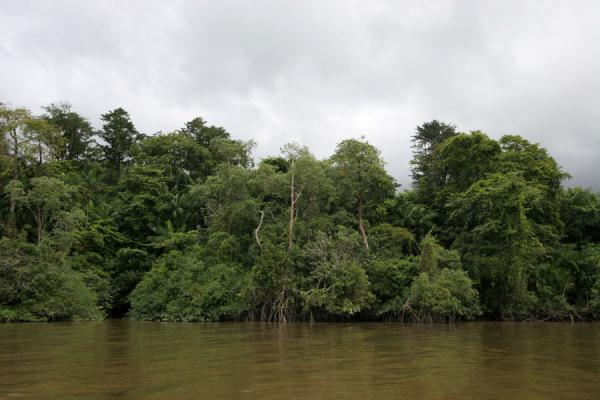 Tropical forest bordering the Marowijne river near Galibi | Galibi | Surinam
