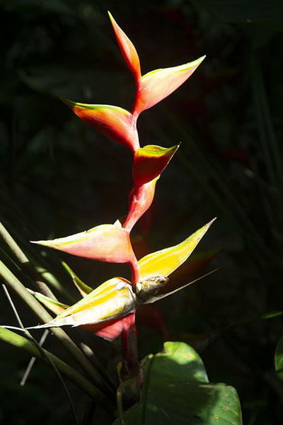 Photo de Heliconia flower in PeperpotPeperpot - le Surinam