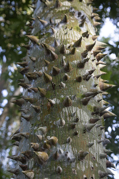 Foto de Spiny tree in Peperpot - Surinam - América
