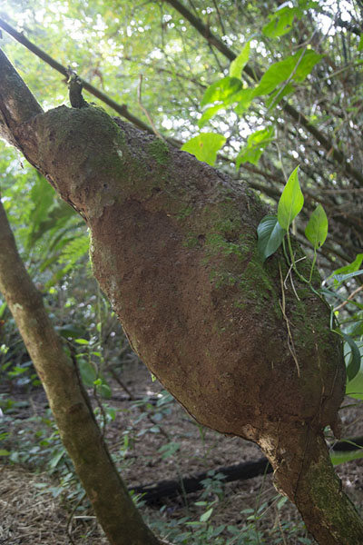 Picture of Termite dwelling on a branch in PeperpotPeperpot - Surinam
