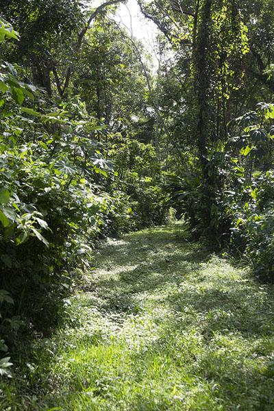 The Felter trail is overgrown by grass | Peperpot Nature Park | Suriname
