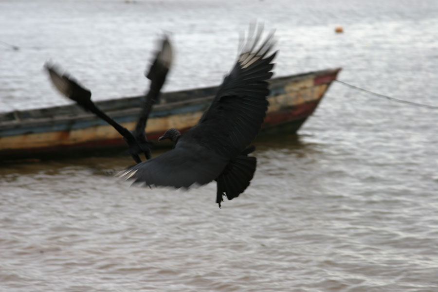 Picture of Black vultures flying over the Marowijne riverGalibi - Suriname