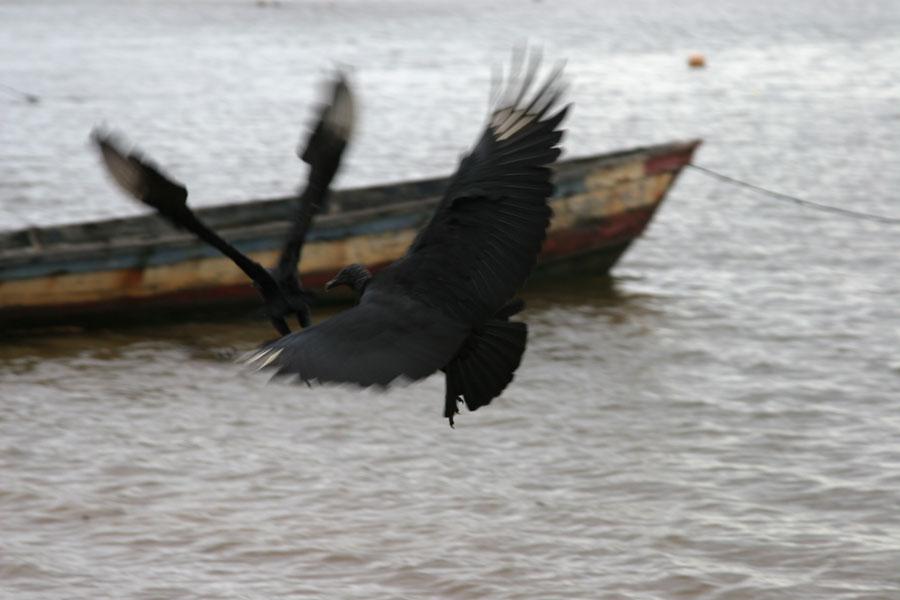 Photo de Black vultures flying over the Marowijne riverGalibi - le Surinam