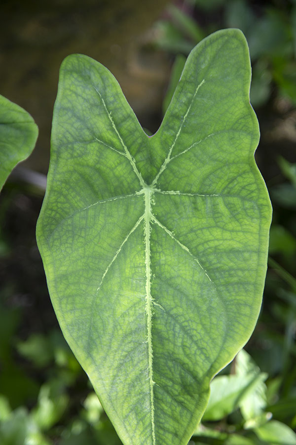 Foto van Close-up of one of the many leaves in PeperpotPeperpot - Suriname
