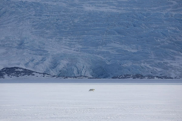 Foto de Polar bear walking the ice with Nordenskiöld glacier in the backgroundBillefjorden -