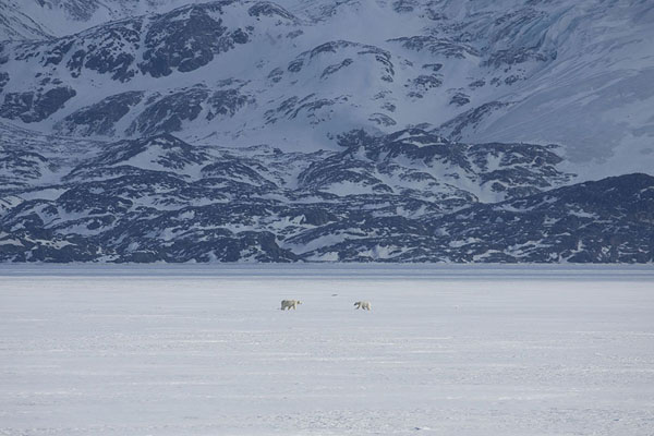 Foto de Polar bear with cub on the sea ice near NordenskiöldbreenBillefjorden -