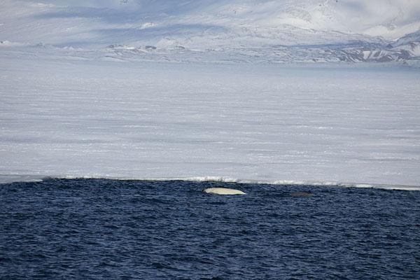 Beluga whale surfacing near the ice edge in Billefjorden - 司法勒巴和燕麦言