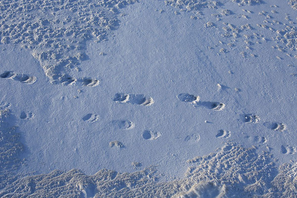 Foto de Footprints of a polar bear in the snow near the end of BillefjordenBillefjorden -