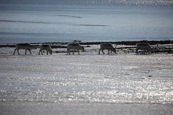 Svalbard reindeer walking across an icy field near Camp Millar | Camp Millar | Svalbard and Jan Mayen