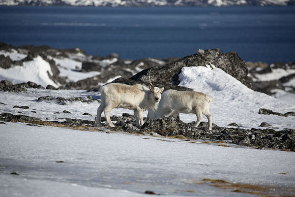 Reindeer grazing the rocky and snowy slopes near Camp Millar | Camp Millar | Svalbard and Jan Mayen