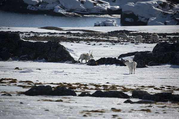Picture of Camp Millar (Svalbard and Jan Mayen): Svalbard reindeer looking for food at the plains near Camp Millar