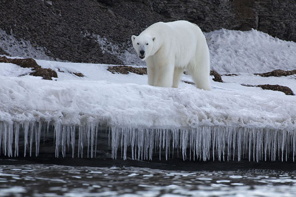 Polar bear walking on a ledge with icicles | Ekmanfjorden | Svalbard and Jan Mayen