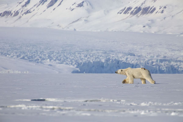 Polar bear walking across the ice with a glacier in the background | Ekmanfjorden | Svalbard and Jan Mayen