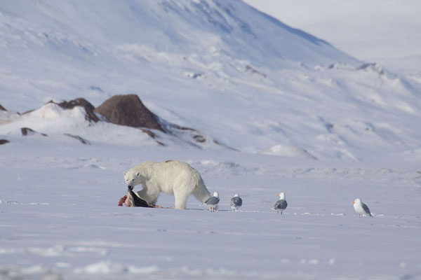 Polar bear dragging his catch across the snow, watched by glaucous gulls | Ekmanfjorden | Svalbard and Jan Mayen