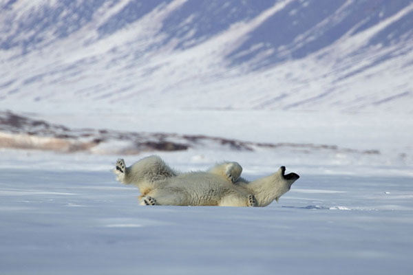 Photo de Polar bear playing in the snow on fast ice in Ekmanfjorden -  - Europe
