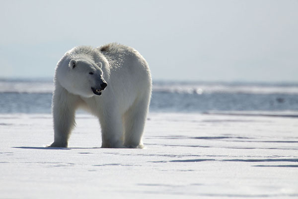 Photo de Polar bear on the lookout on floating ice -  - Europe