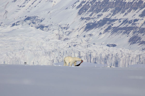Polar bear dragging his seal over the ice, with glacier in the background | Ekmanfjorden | Svalbard and Jan Mayen
