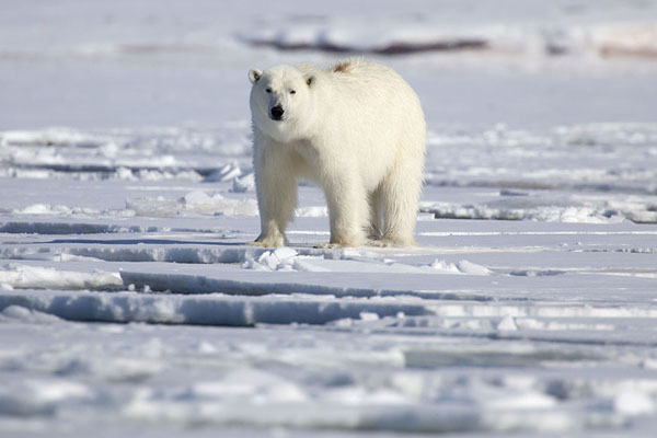 Foto de Polar bear on floating iceEkmanfjorden -