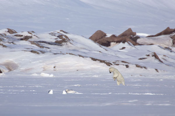 Foto van Polar bear jumping on a sealEkmanfjorden -