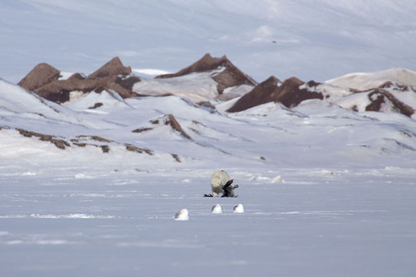 Polar bear skinning a seal on the ice of Ekmanfjorden | Ekmanfjorden | 司法勒巴和燕麦言