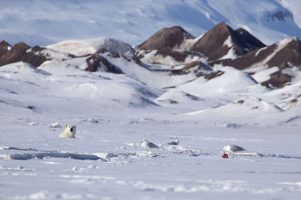 Foto van Polar bear sticking its head out of the iceEkmanfjorden -