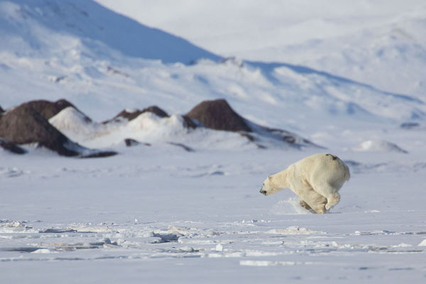 Foto van Adult male polar bear chasing away a younger bear -  - Europa