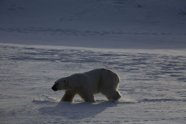 Adult male polar bear threading through thick snow | Ekmanfjorden |