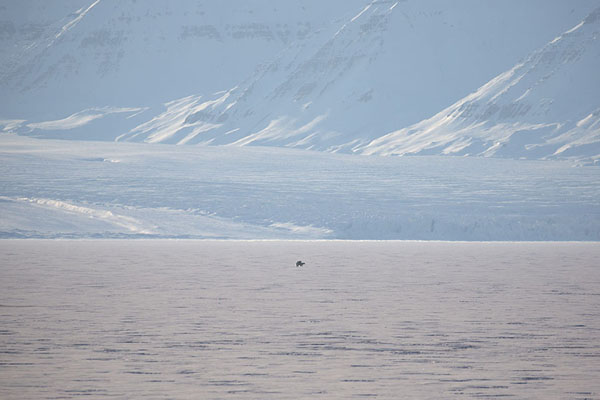 Mating polar bears on the fast ice of Ekmanfjorden | Ekmanfjorden | 司法勒巴和燕麦言