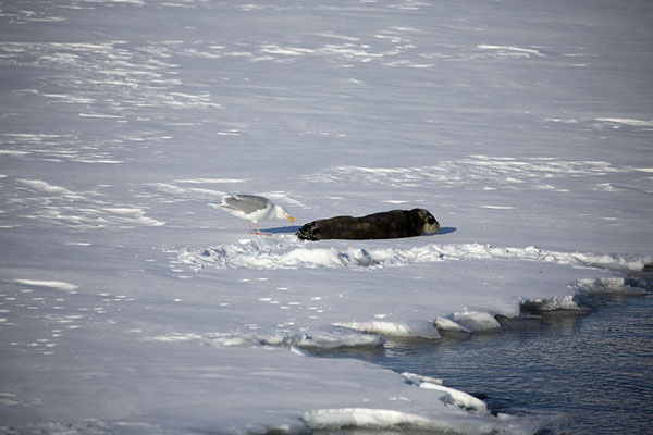 Foto van Glaucous gull picking on a wounded bearded seal pupEkmanfjorden -