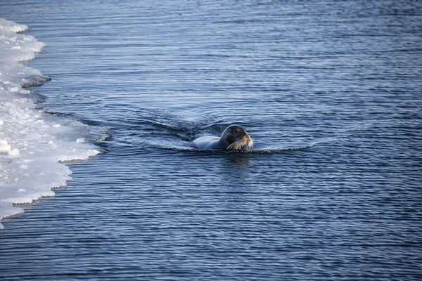 Foto di Bearded seal mom looking for her wounded pup which disappeared under the ice just beforeEkmanfjorden -