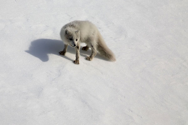 Foto van Arctic fox examining his surroundings on a slope at Hornsund -  - Europa