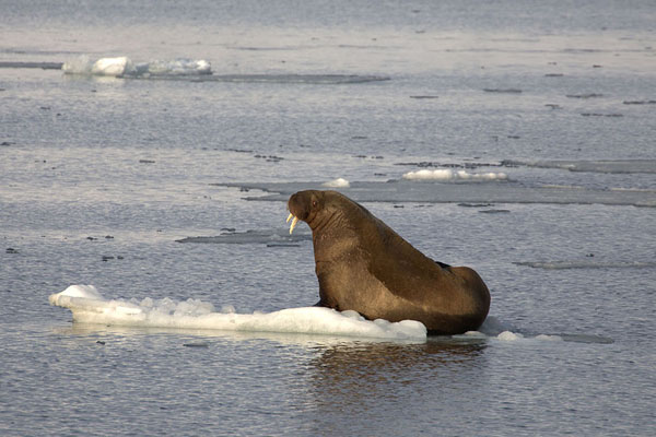 Walrus on ice showing his tusks at the east side of Hornsund - 司法勒巴和燕麦言 - 欧洲