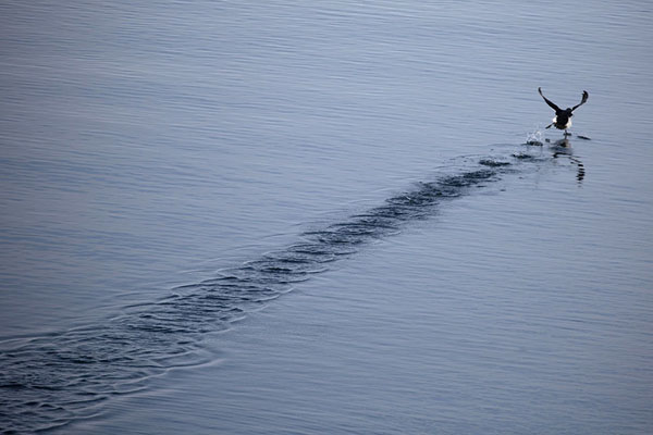 Picture of Guillemot taking off from the quiet waters of HornsundHornsund - Svalbard and Jan Mayen