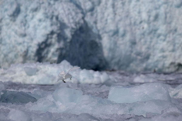 Ivory gull about to land on a chunk of ice that just broke off Negribreen | Glaciar de Negribreen |